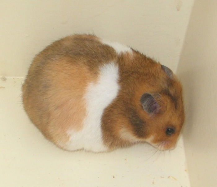 Mimicry Pet Hamster Caramel Brown  amazoncom