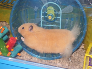 Long Haired Hamster Colors 46