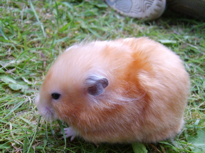 Long Haired Hamster Colors 19