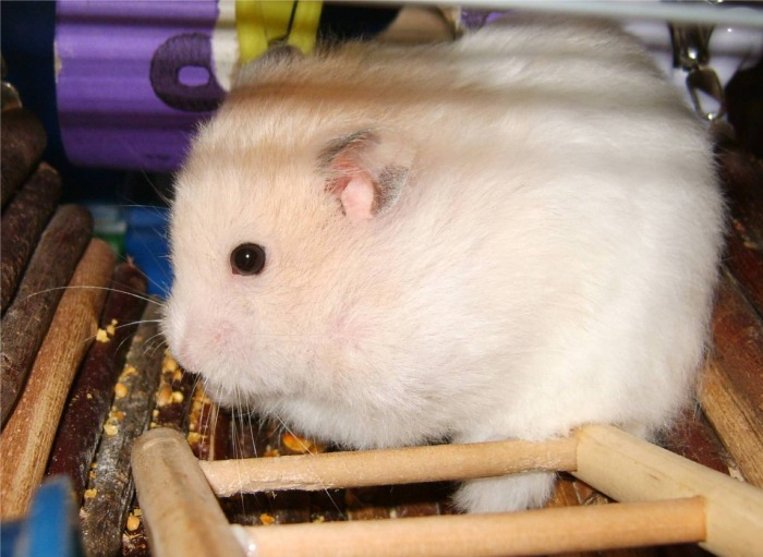 Long Haired Hamster Colors 81