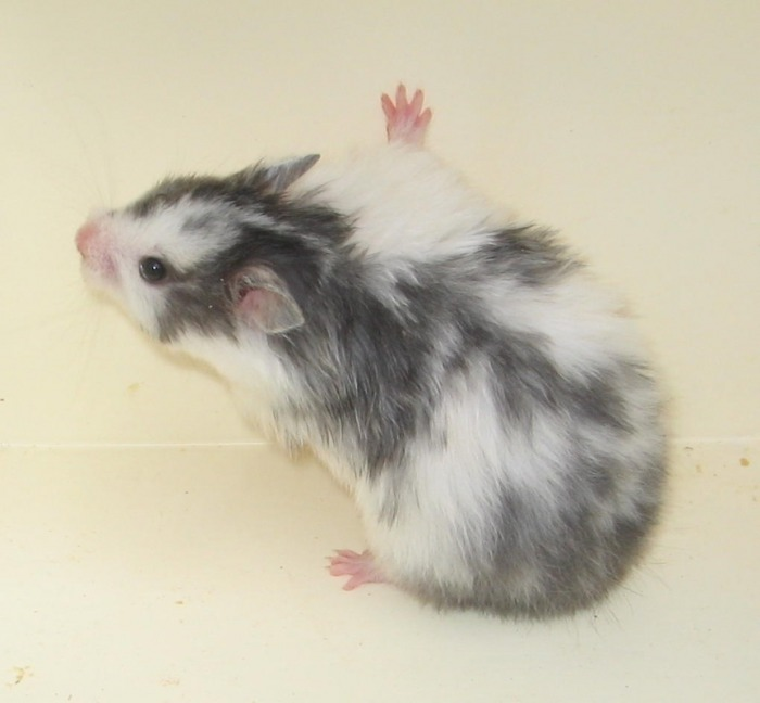 Syrian Hamster Varieties - Harvey Hams