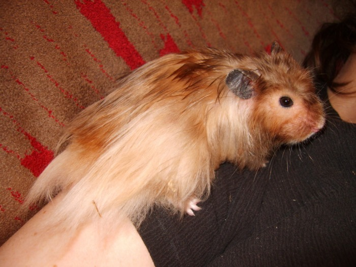 Long Haired Hamster Colors 55
