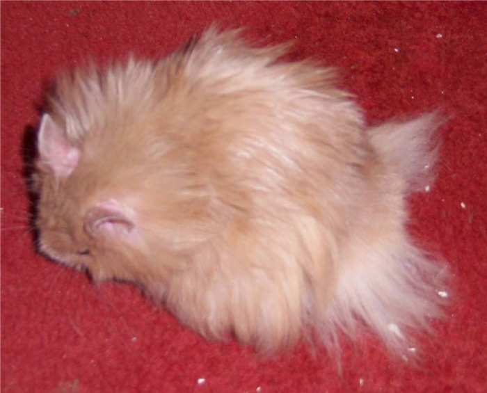 Long Haired Hamster Colors 29