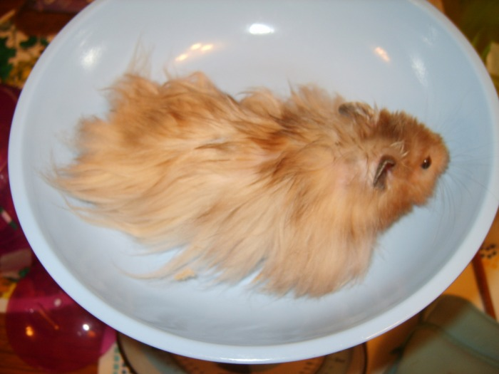Long Haired Hamster Colors 11